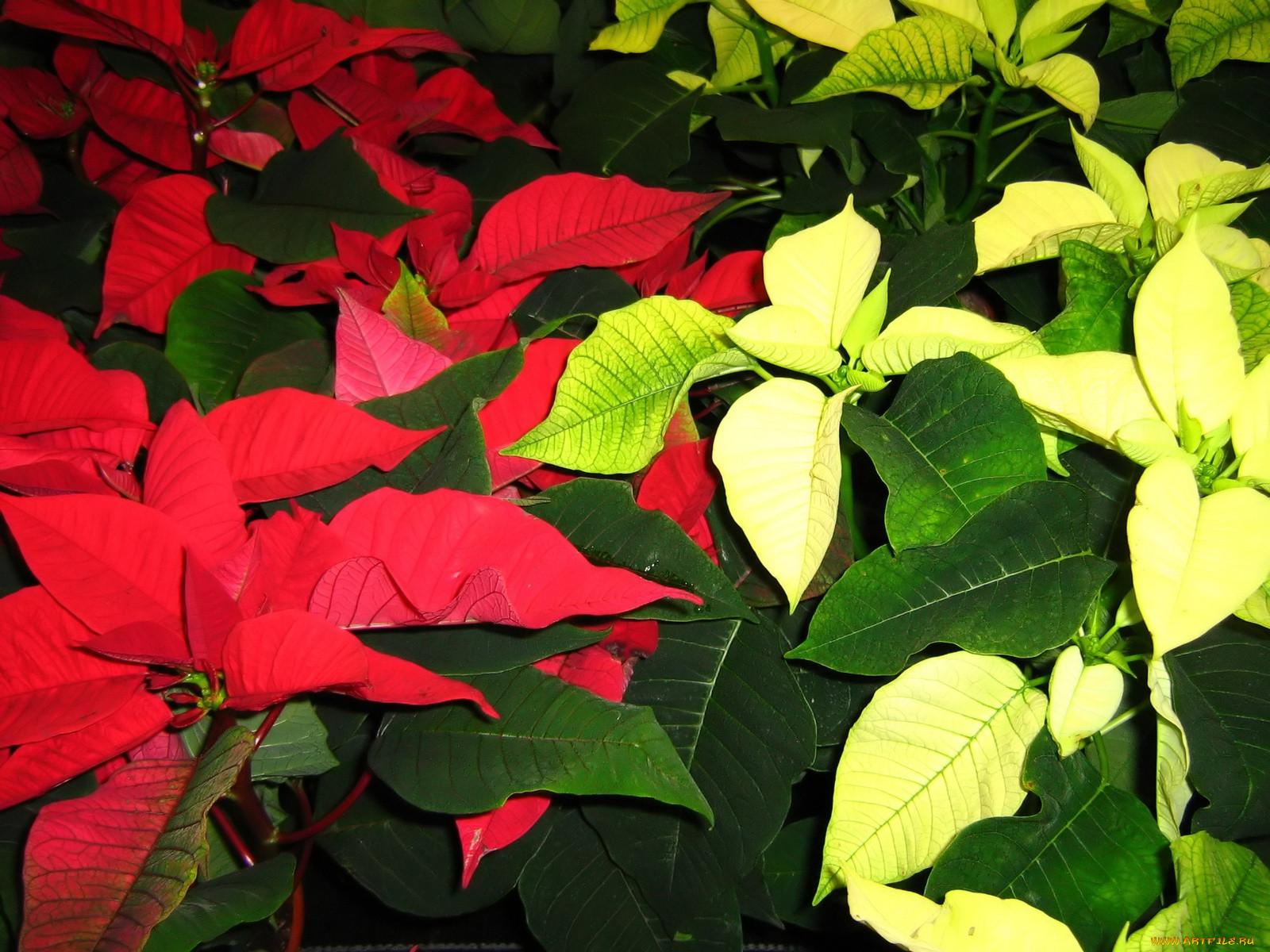 цветы с зелено красными листьями картинки например, она